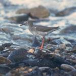 Redshank